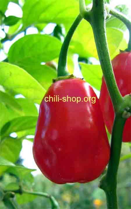 chili samen kaufen amazon chile roma chili samen kaufen chili seeds im shop chili. Black Bedroom Furniture Sets. Home Design Ideas