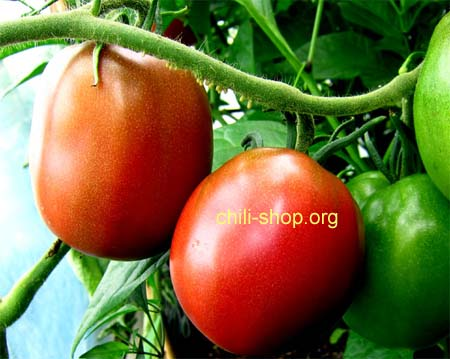 tomate rot purple russian blaue tomaten samen kaufen chili seeds im shop chili. Black Bedroom Furniture Sets. Home Design Ideas