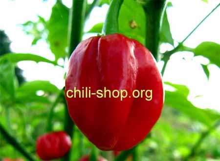 chili samen kaufen red sabrina im shop. Black Bedroom Furniture Sets. Home Design Ideas